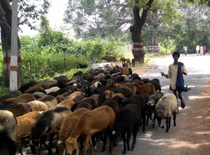 Sheep_and_herder_India